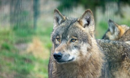 Consulta pública previa sobre el proyecto de Orden Ministerial para incluir a todas las poblaciones de lobo en el Listado de Especies Silvestres de Protección Especial