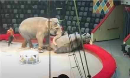 Dos elefantes se pelean en medio de un espectáculo circense en Rusia.