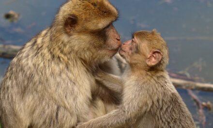 """""""A la comunidad científica le preocupa la escasez de macacos para experimentación"""""""